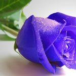 Blue Roses Puzzle